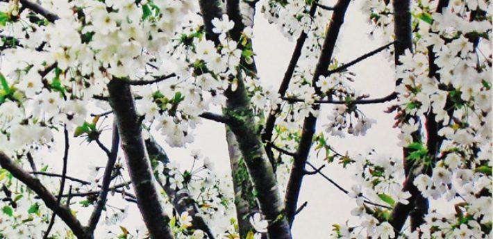 koestler blossom1